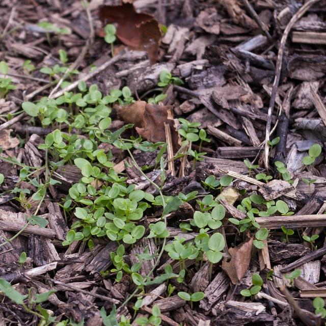 Larkspur seedlings