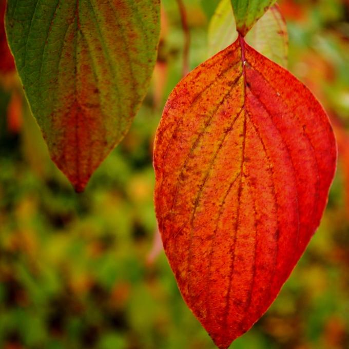 Pagoda Dogwood leaf October 11 2018
