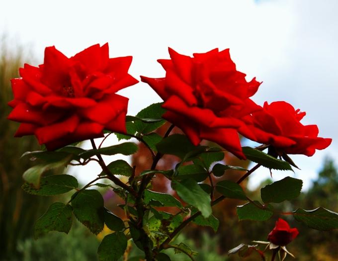 Rosa Crimson Bouquet October 11 2018