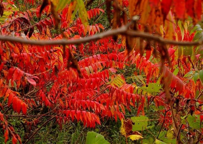 Sumac tree October 11 2018