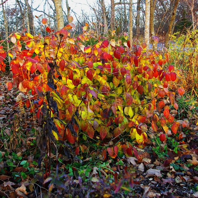 Korean Spicebush Nov 10 2018