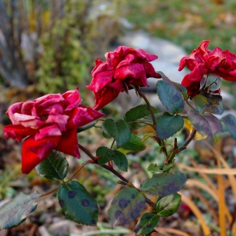 Rose 'Crimson Bouquet' Nov 10 2018 2