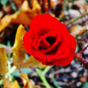 Rose 'Crimson Bouquet' Nov 10 2018