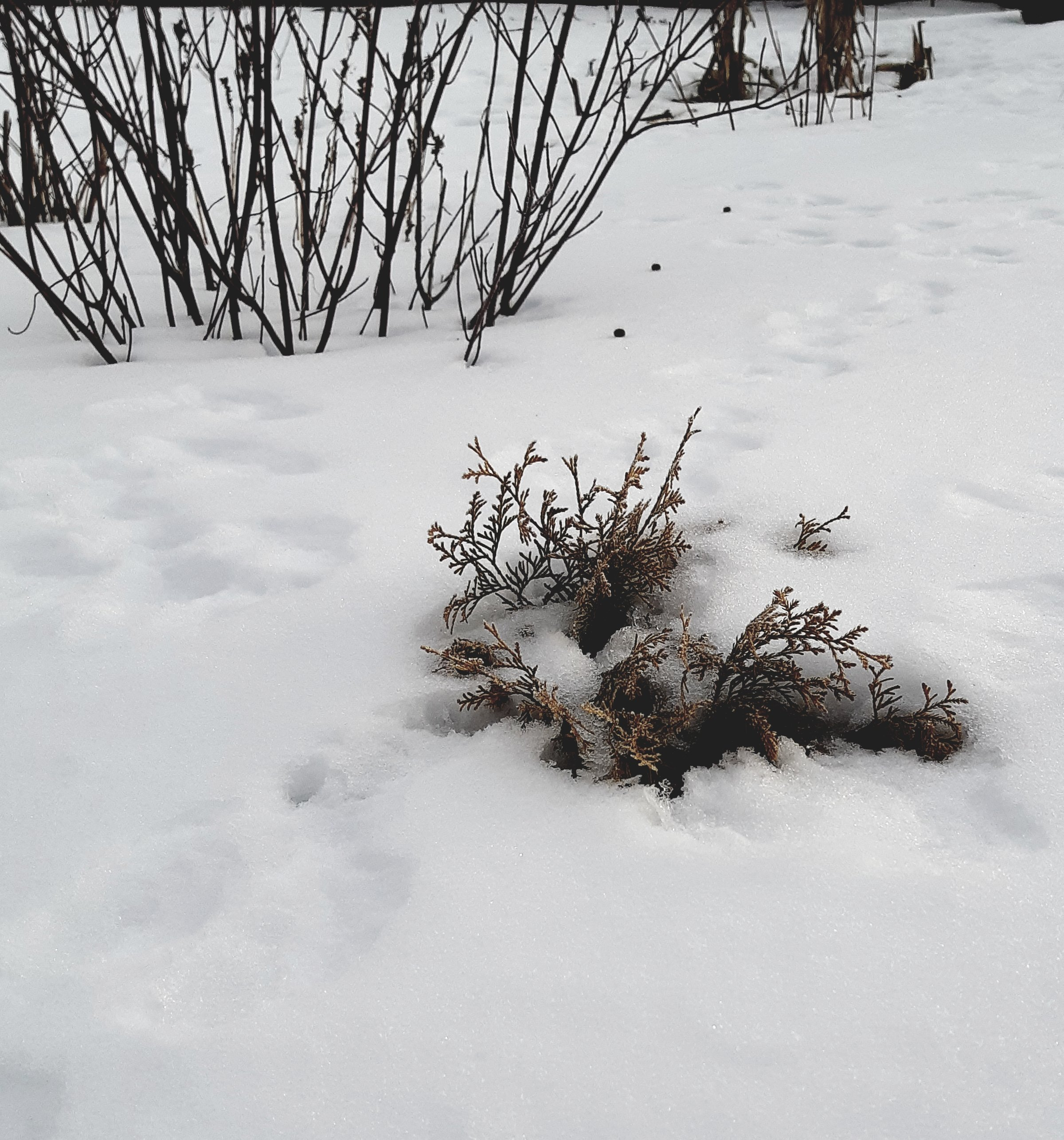 Small cedar in the snow with yellow tinged foliage