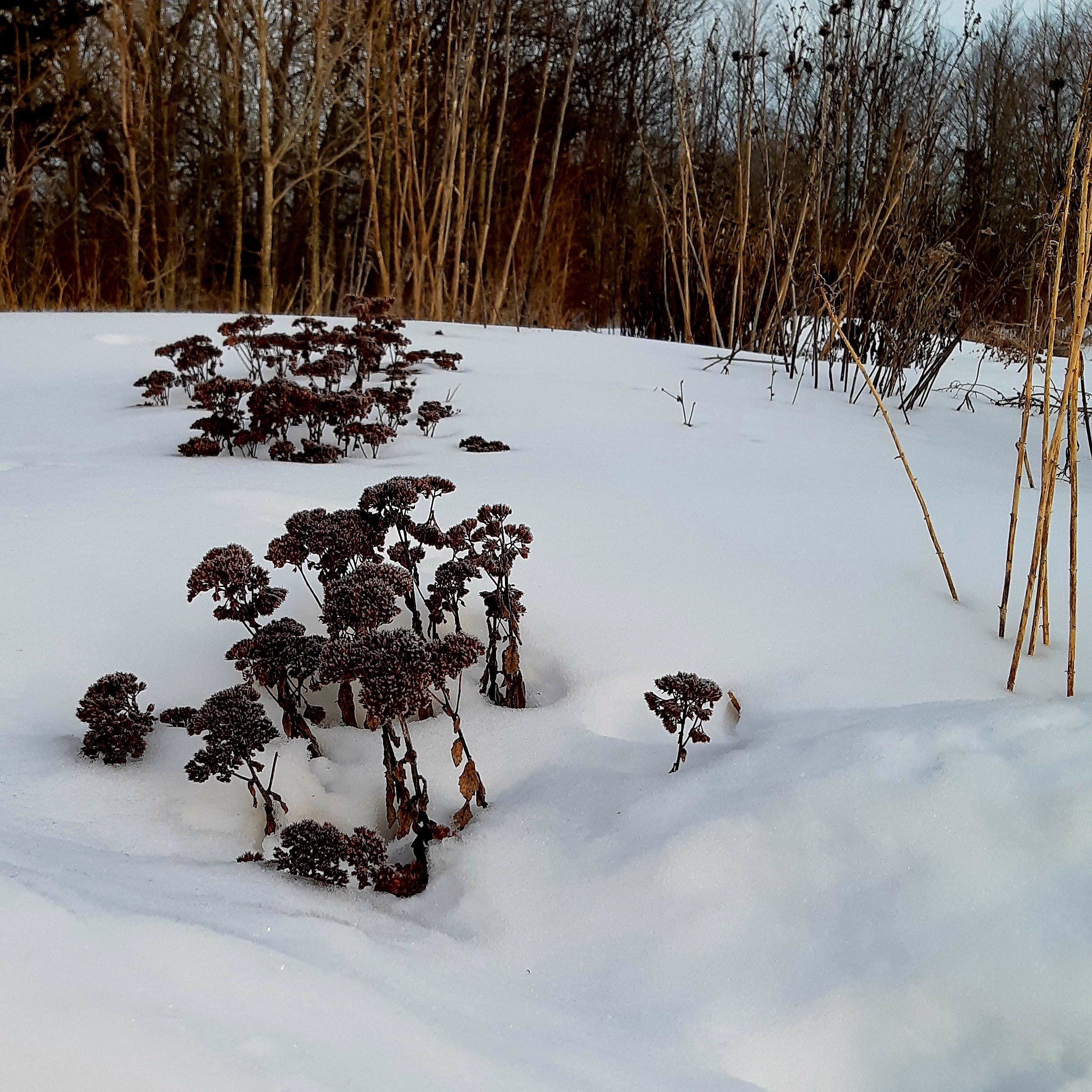 Sedum spectabile flower stalks sticking up through the snow