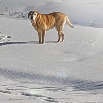 Yellow Labrador retriever, Shileau, standing in the snow