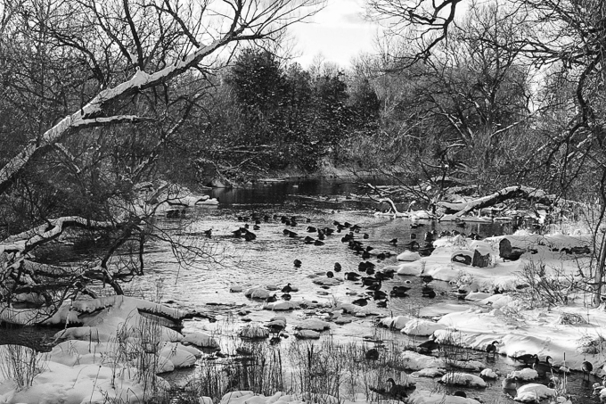 Black and white photo of a flock of Canada Geese foraging in the frigid, shallow waters  of Consecon River.  Ice and snow cover the river banks.