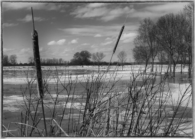 black and white photo of two cattails in the foreground, flooded field behind them trees in the distance