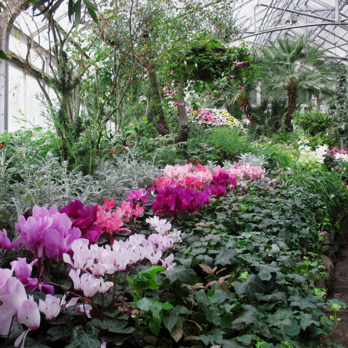 row of white, pink and purple Cyclamen in bloom
