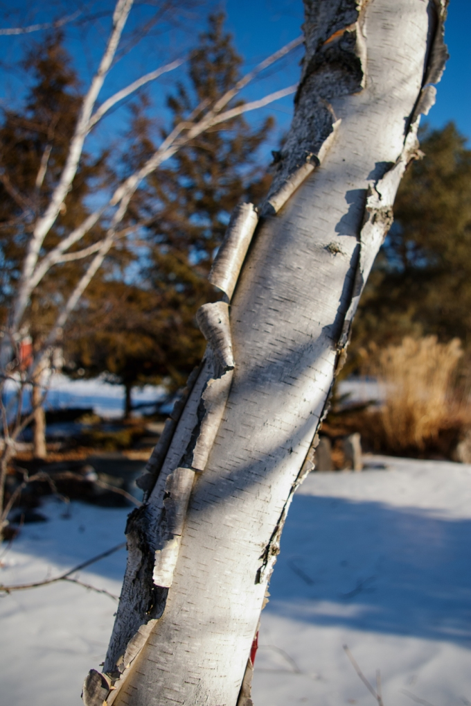 Close up shot of the peeling white bark of a Paper Birch in winter. The background is soft and fuzzy, but there is blue sky and sunshine on other birch trees in the background.
