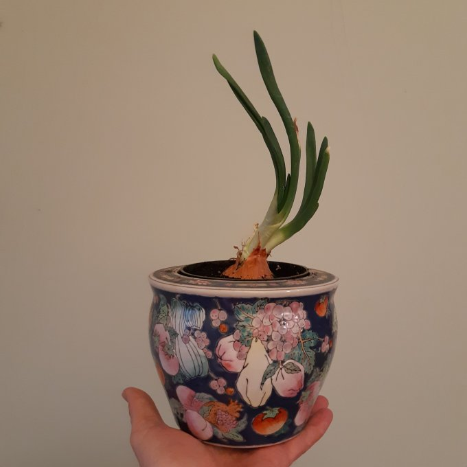 A  common kitchen onion, potted up and sitting on my hand in a Chinese ceramic pot.  Rather heavy!
