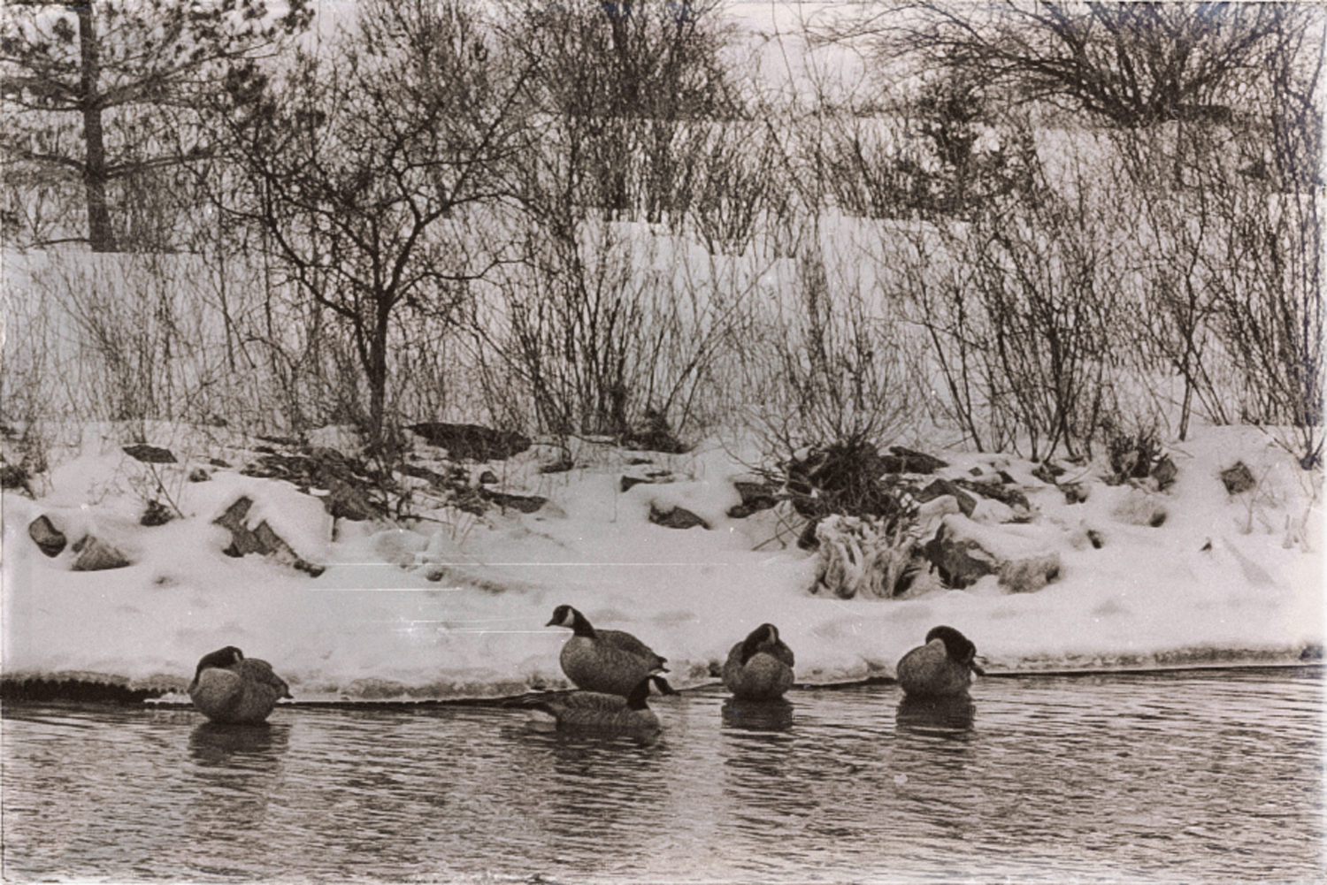 Five Canada geese swimming in Wellington channel.