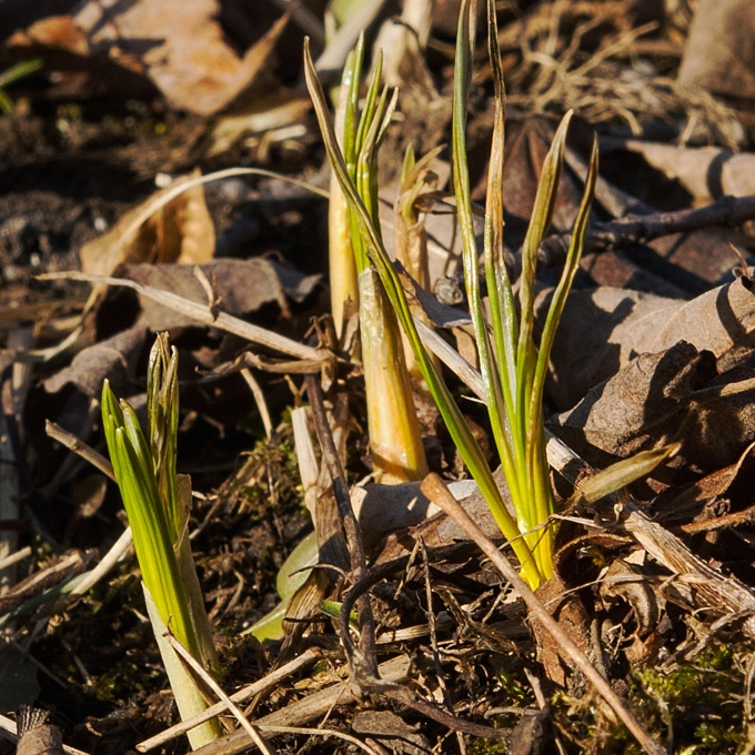 the first Crocus leaves of the year