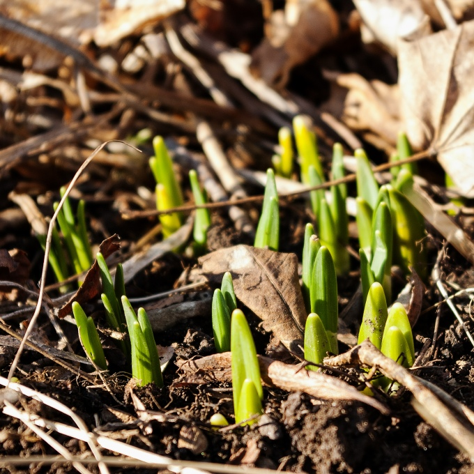 closeuo iof daffodil leaves emerging from the ground