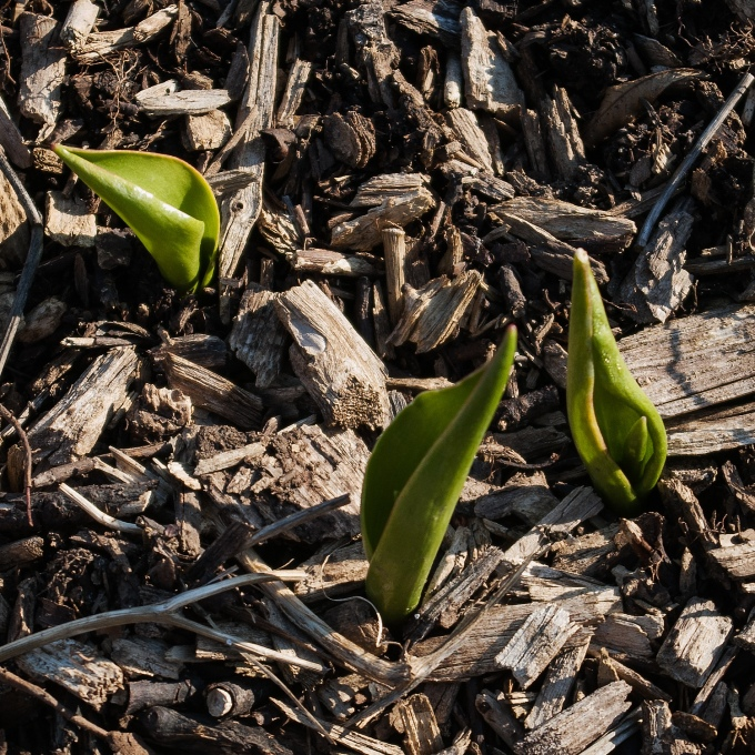 small tulip leaves emerging