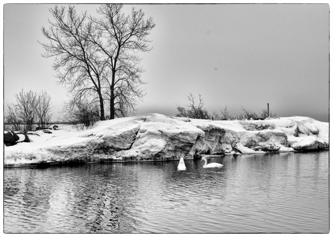 A photo shopped image - two swans in front of a dramatic snow ledge along the banks of Wellington channel