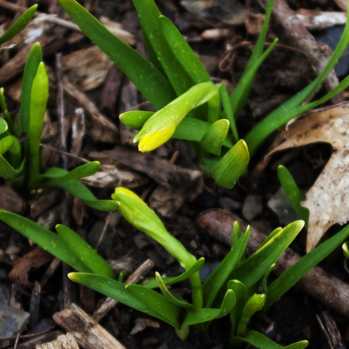 Mini daffodills about to bloom.