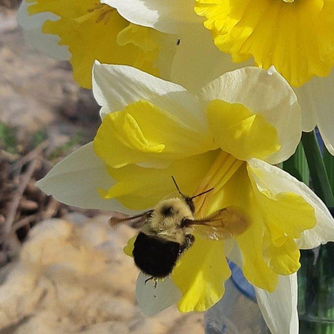 bumble bee in a yellow daffodil