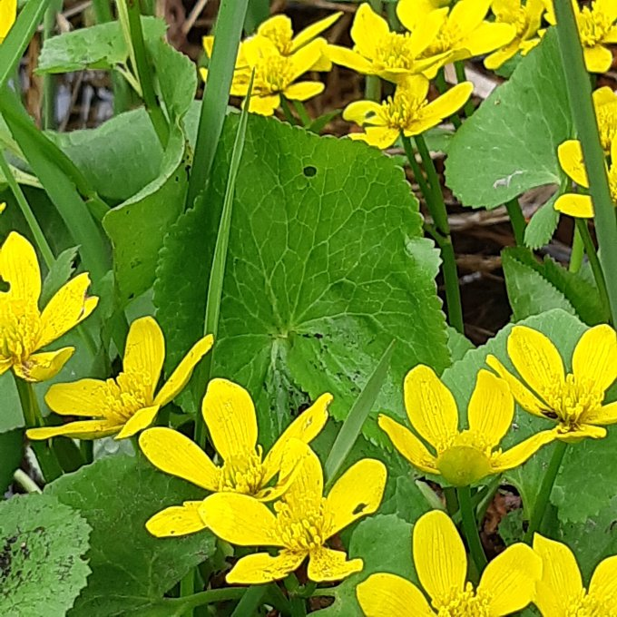 Closeup of the marsh marigold flower - bright yellow, like a large buttercup.
