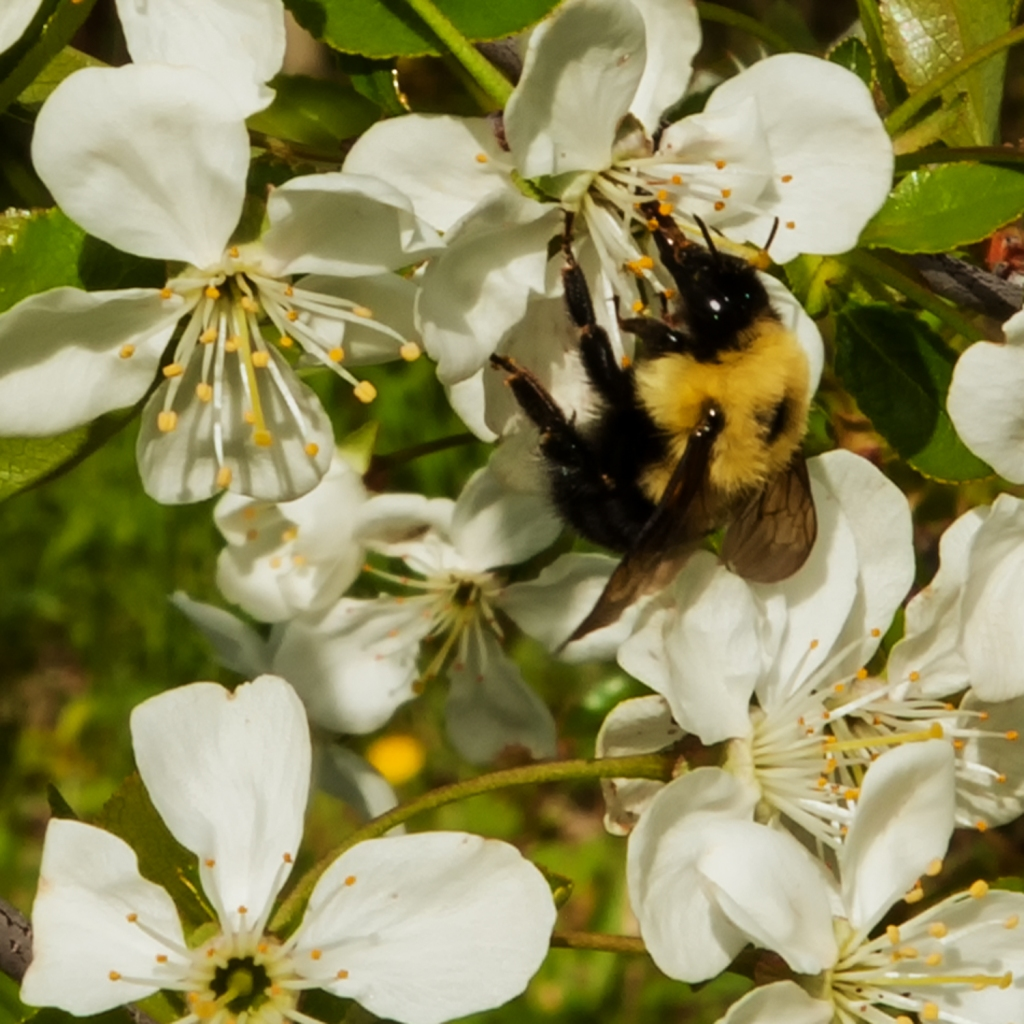 close up shot of a bumble bee on a white cherry blossom