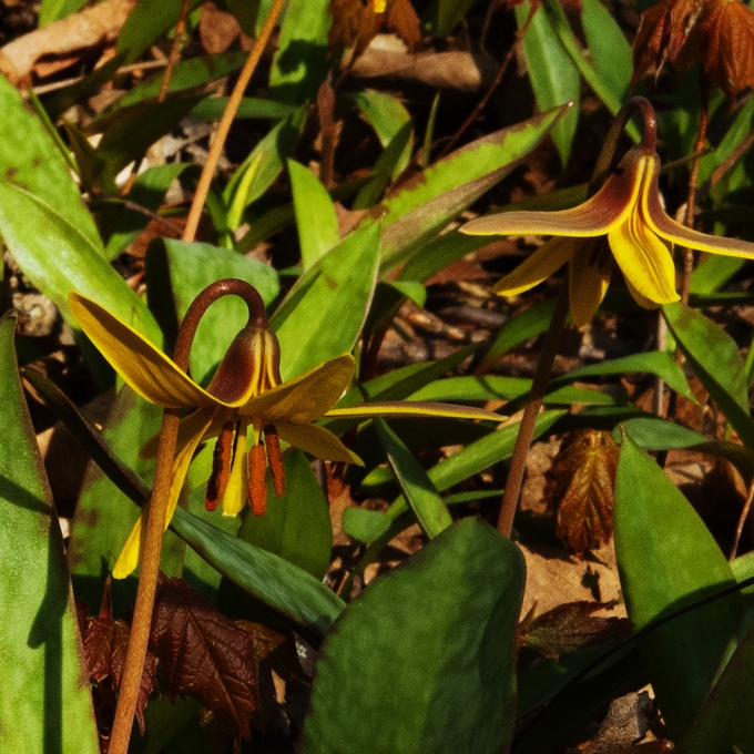 two yellow trout lily