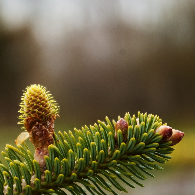 Korean Fir - Abies koreana - cones and leaf buds emerging