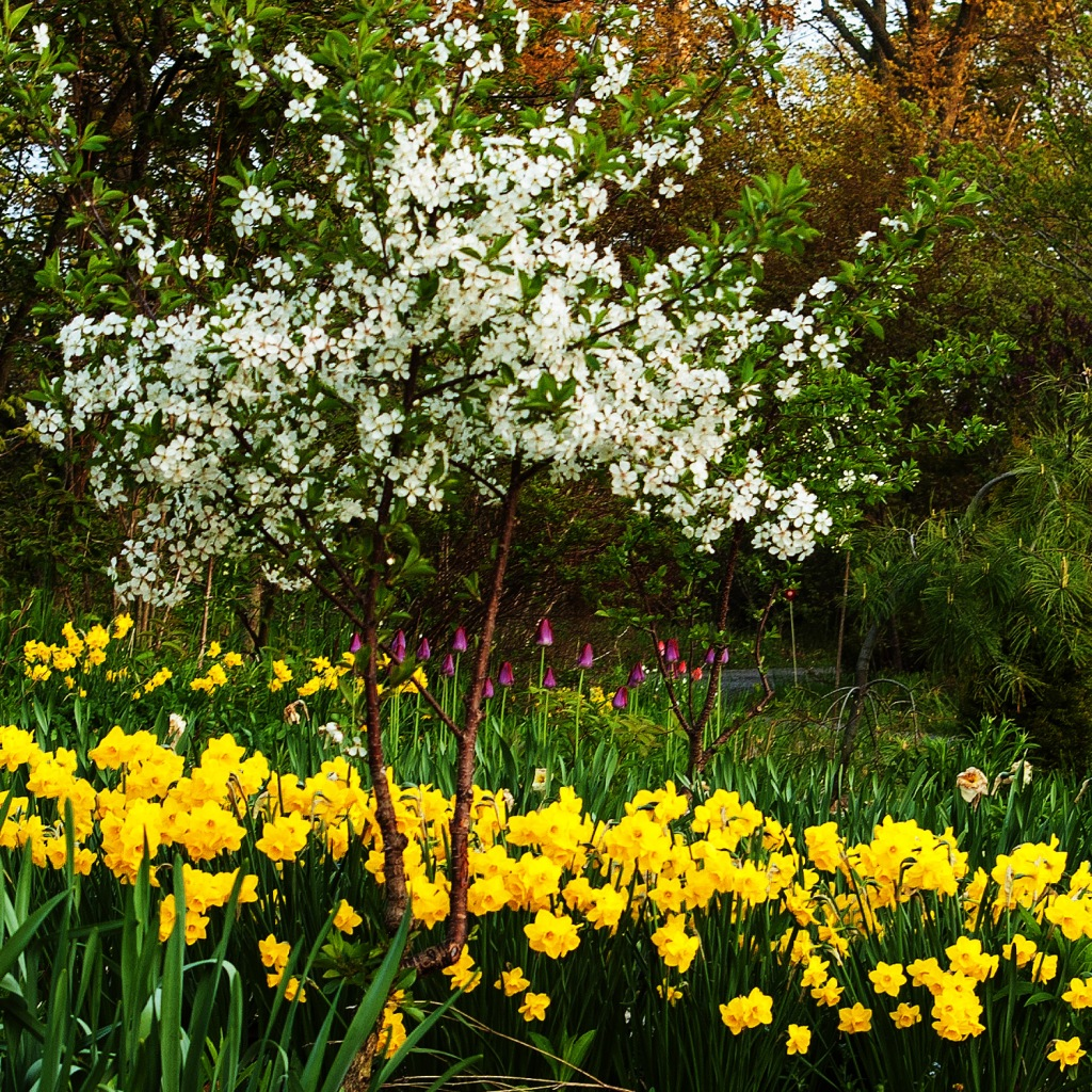 image of the sour cherry tree awash in white blossoms, with yellow daffodils blooming below