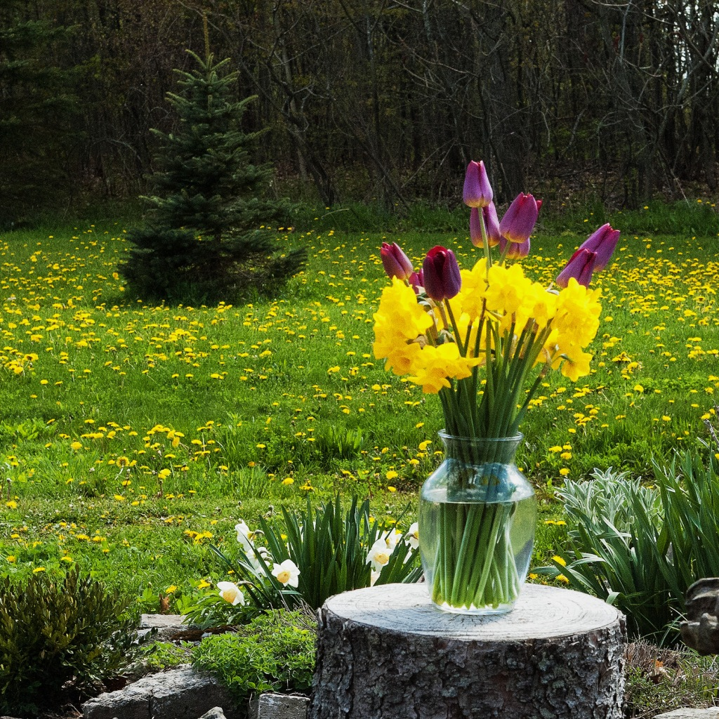 Purple tulips in a vase with yellow daffodils, outside, in a vase resting on a tree stump, with a field of dandelions in the background