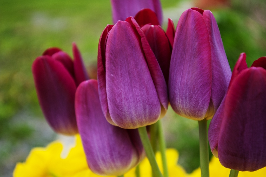 Close up shot of the purple tulips