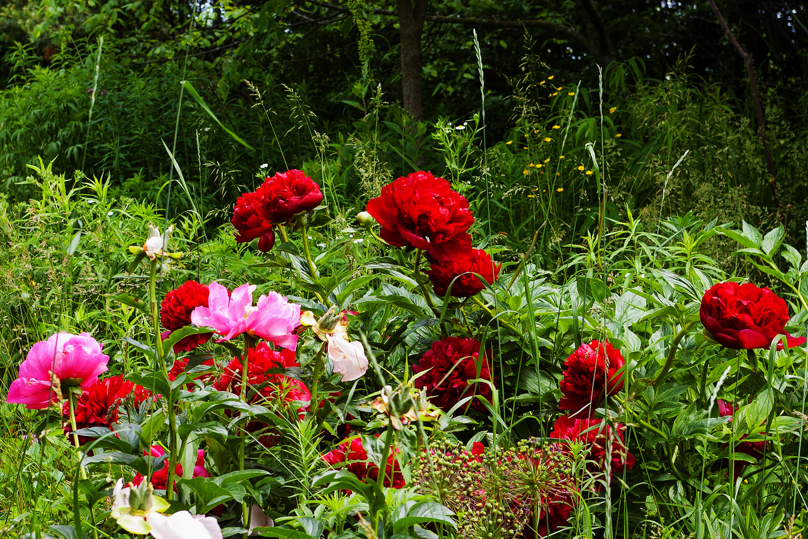 Red and Pink peonies in full bloom