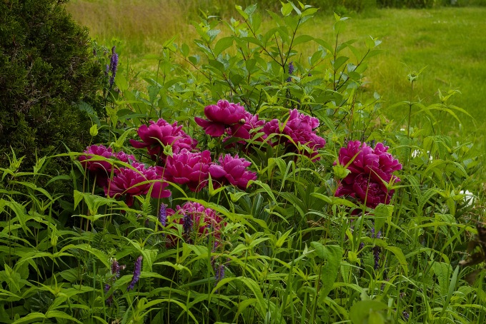 Purple Peonies in full bloom