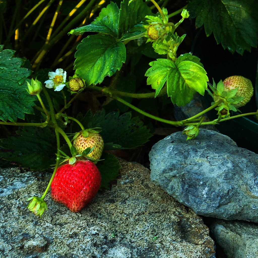 Beautiful red strawberry just waiting to be picked and eaten.