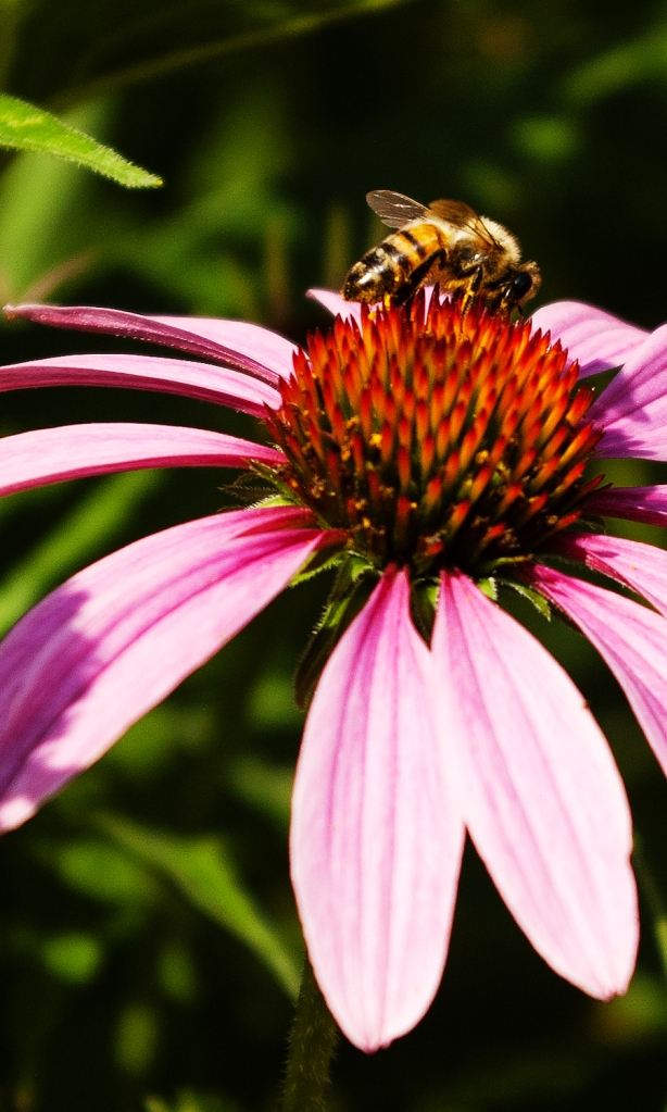Honey bee on purle coneflower