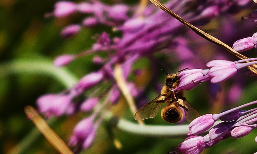 Honey bee at the tip of an Allium carinatum - purple keeled garlic - flower