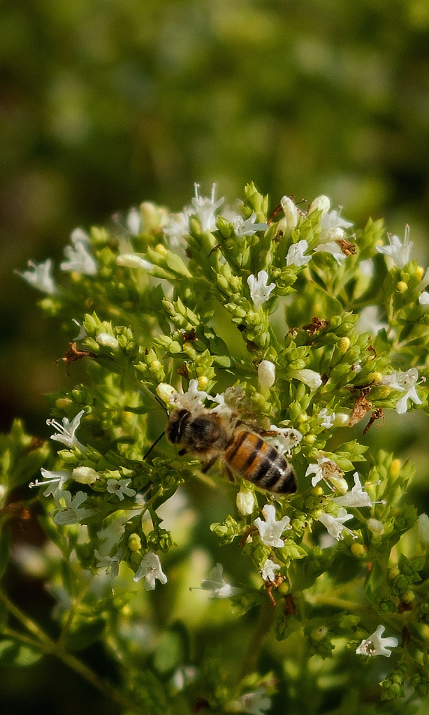 Honey bee of oregano flowers