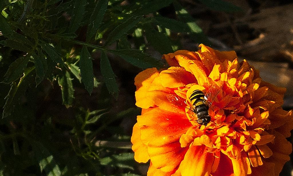 Honey bee of orange marigold