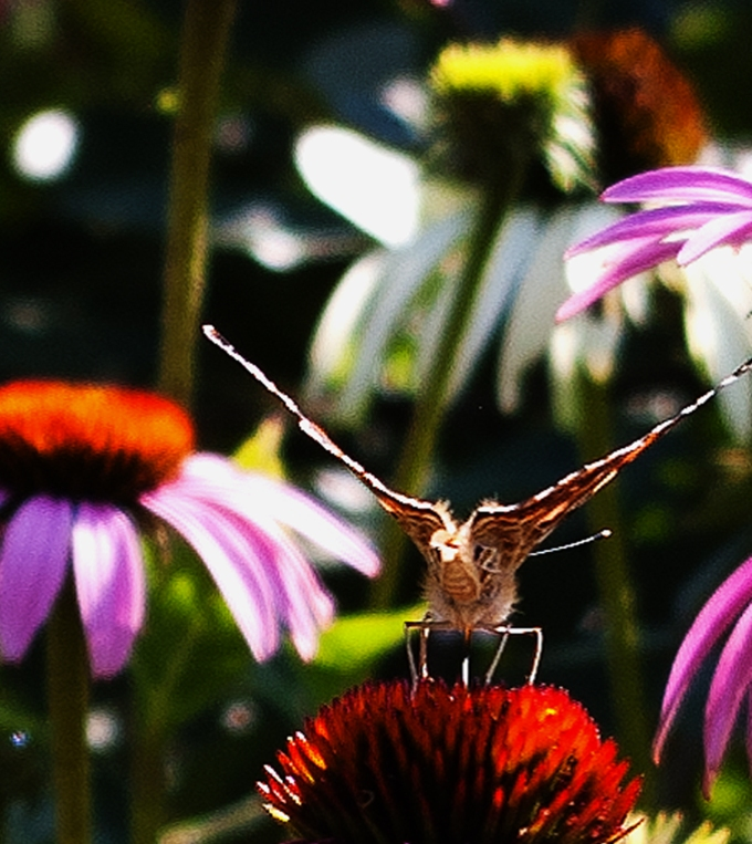 Tail end view of Painted Lady butterfly on purple Echinacea