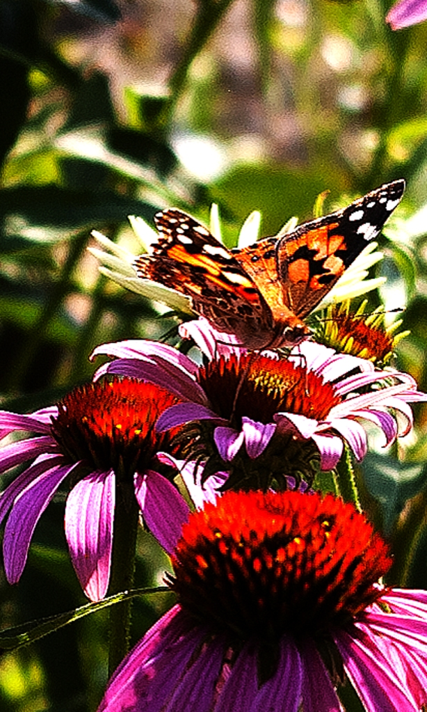 Painted Lady butterfly on purple Echinacea