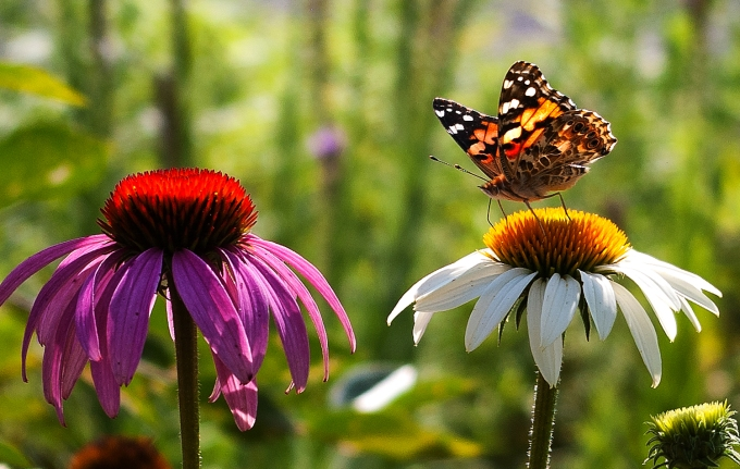Painted Lady butterfly on White Echinacea