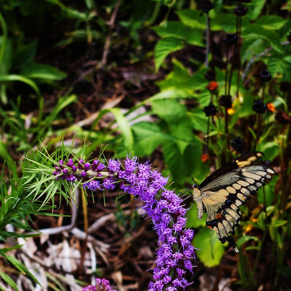 Same swallowtail butterfly on purple Liatris - side view
