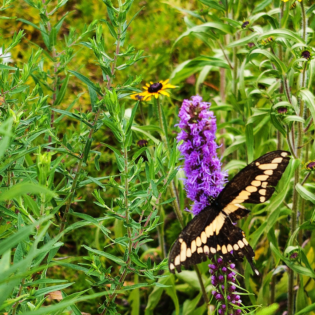 Swallowtail butterfly on purple Liatris - butterfly has the bottom half of the right wing missing
