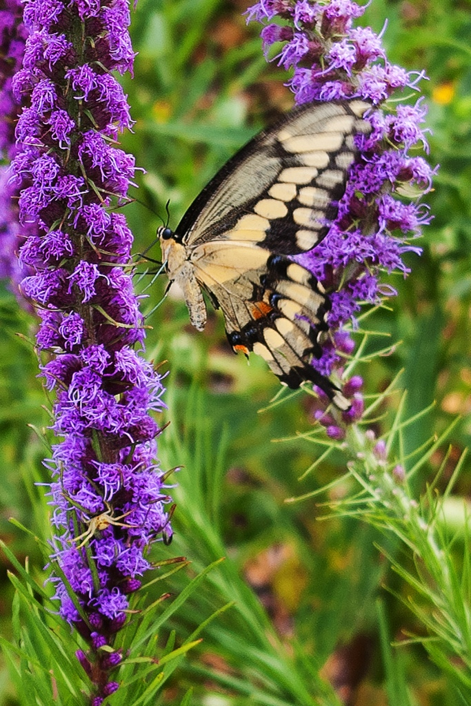 Same swallowtail butterfly on purple Liatris - cloer up, side view, a small spider on the Liatris!