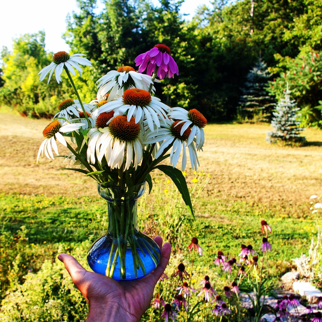 blue vase, held on my palm, with white Echinacea and a single purple Echinacea