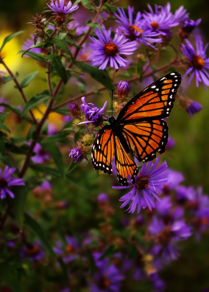 VOrange and black iceroy Butterfly on purple New England Aster