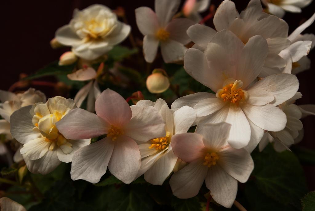 White hanging Begonias
