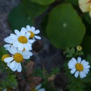 white flowered chamomile