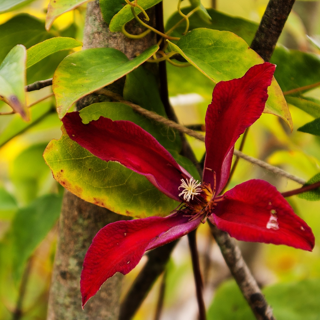 Deep red Clematis texensis 'Gravetye Beauty'