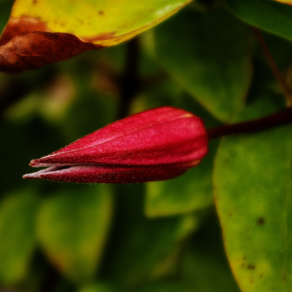 Deep red Clematis texensis 'Gravetye Beauty' flower bud