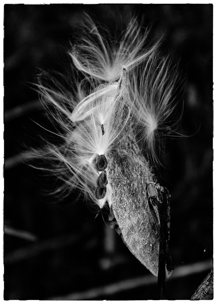 black and white photo of a milkweed flower starting to go to seed - the dark seeds attached to silky white threads that will rise with the wind to start another plant somewhere