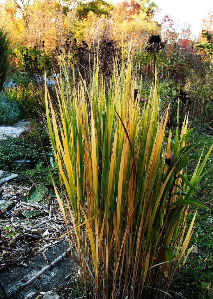 Tall (ish) ornamental grass, blades turning yellow, in the sun